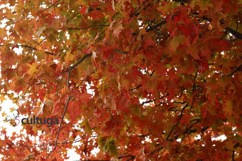 Outono em Portugal: árvores com folhas avermelhadas em Lisboa