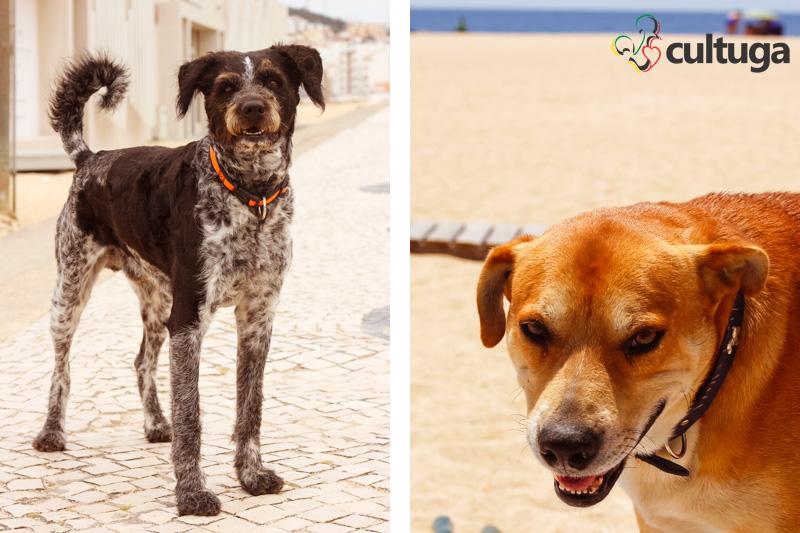 cachorro_nazare_portugal_cultuga_7