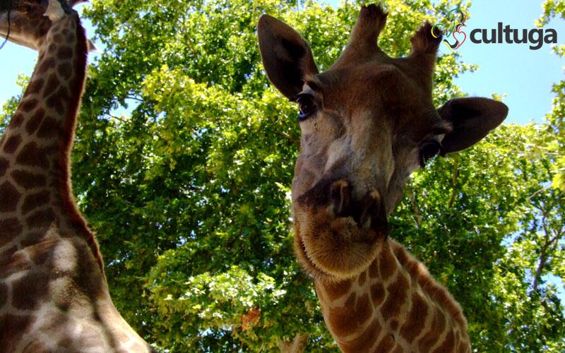 girafa zoológico de lisboa portugal cultuga