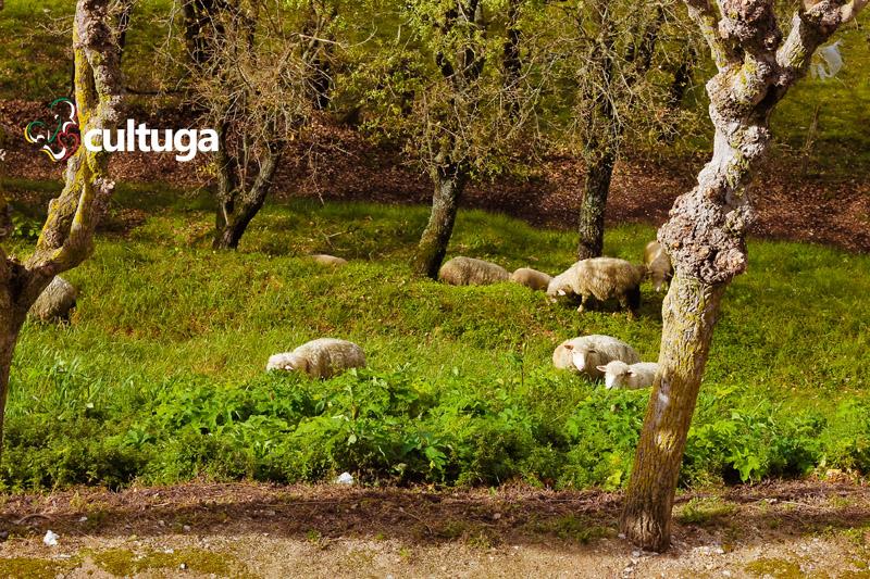 Castelos em Portugal: ovelhas no Castelo de Porto de Mós