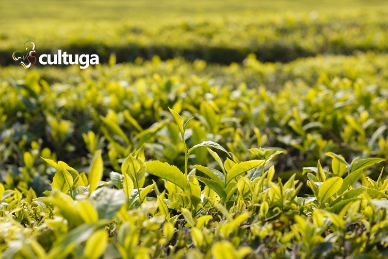 Plantações de chá na Ilha de São Miguel, Açores - Portugal