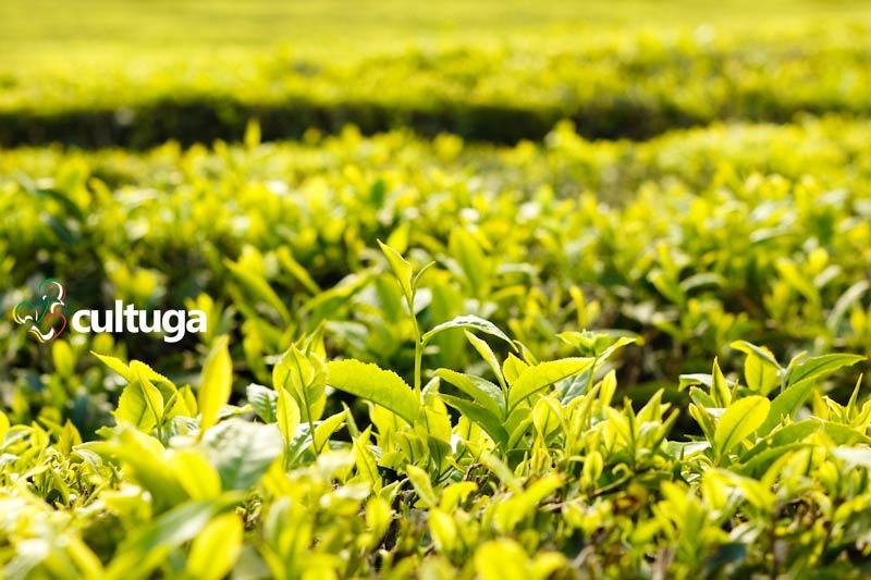 Açores: plantação de chá mais antiga da Europa