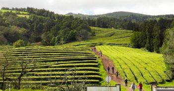 Açores: Plantação de Chá Gorreana