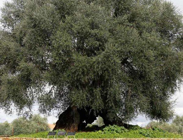 Conheça a árvore mais antiga de Portugal!