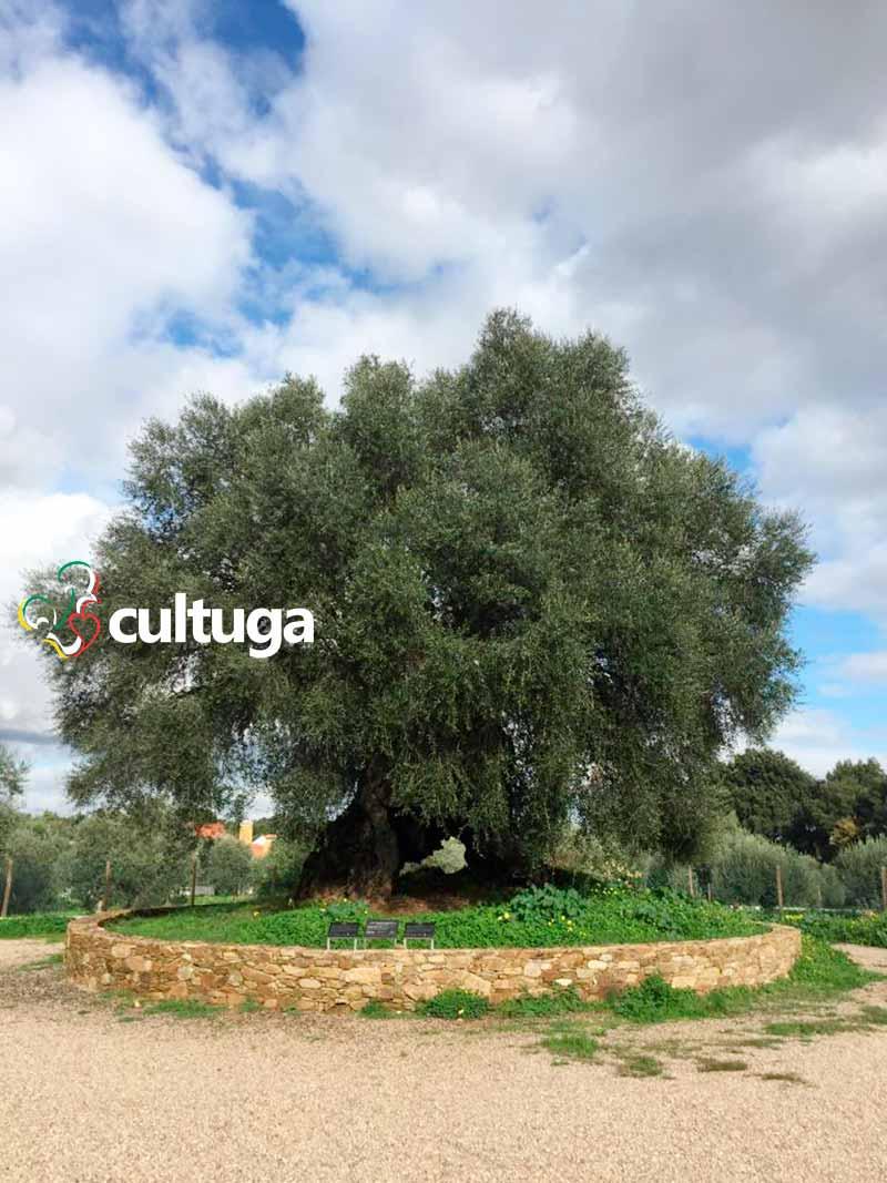 árvore mais velha de portugal