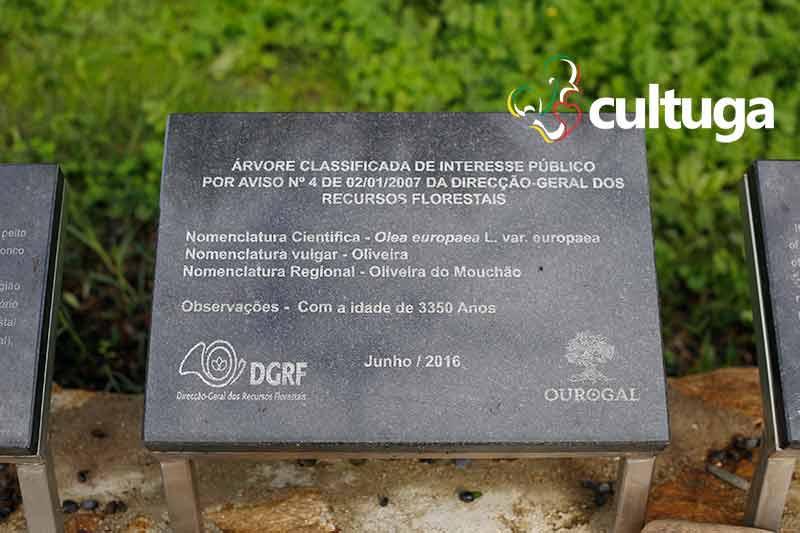 oliveira do mouchão - árvore mais antiga de portugal