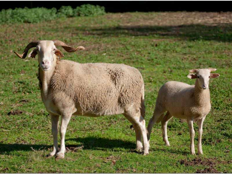 Ovelhas bordaleiras