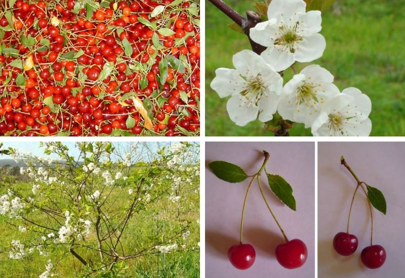 Ginja Fruto e Árvore